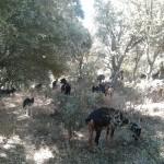 Cabras previniendo incendios
