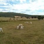 Lechazos churros en nuestra ganadería