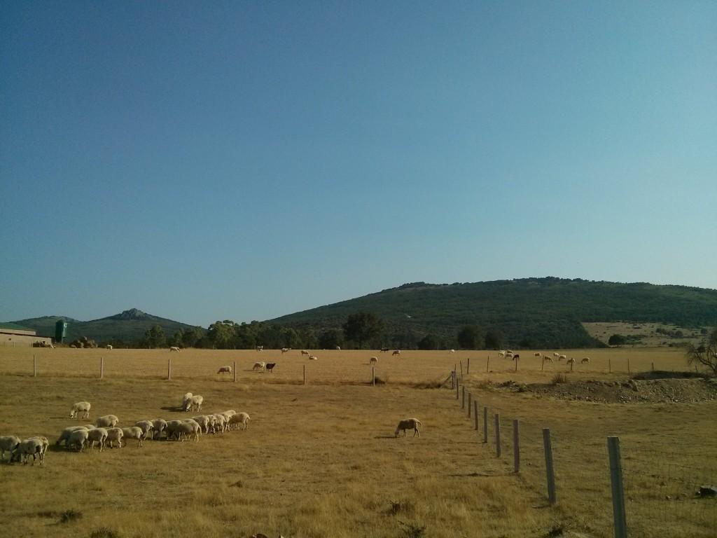 Ovejas churras pastoreando en dos lotes